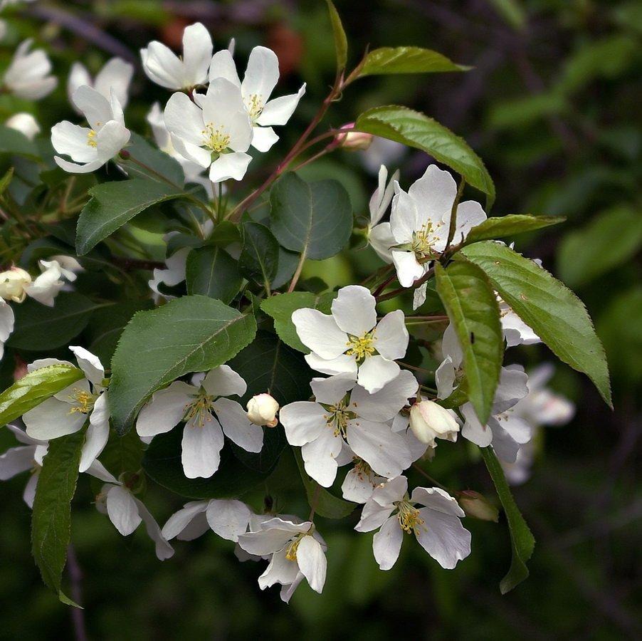 Карликовые сорта яблонь для сибири: описание и правила ухода