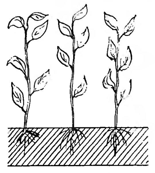 Как посадить и вырастить облепиху
