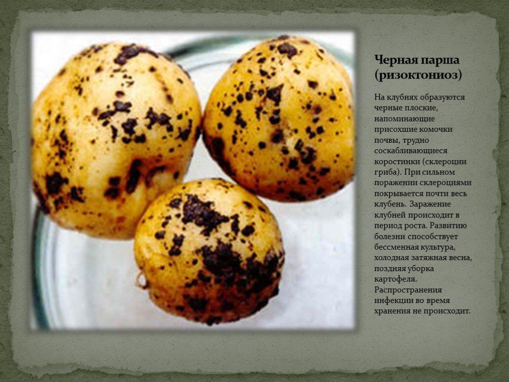 Парша серебристая картофеля   справочник пестициды.ru