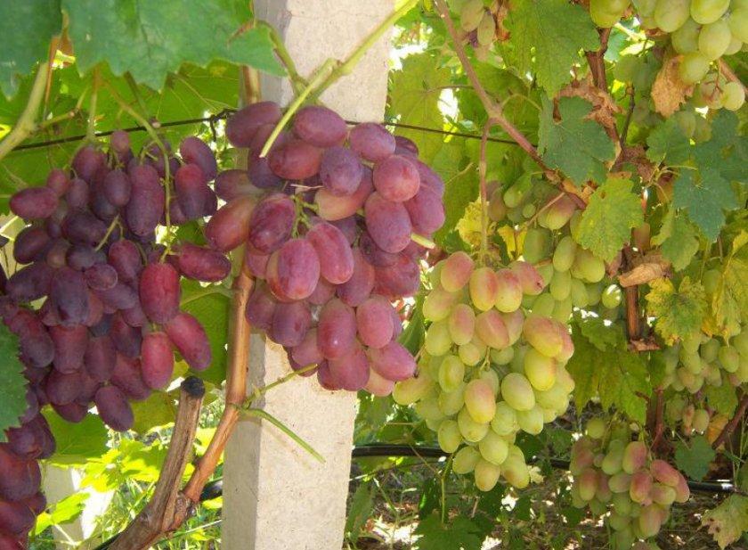 Виноград аркадия: описание сорта, посадка и уход в открытом грунте
