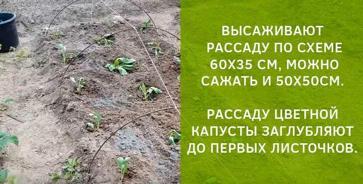 Как выращивать цветную капусту в открытом грунте без рассады