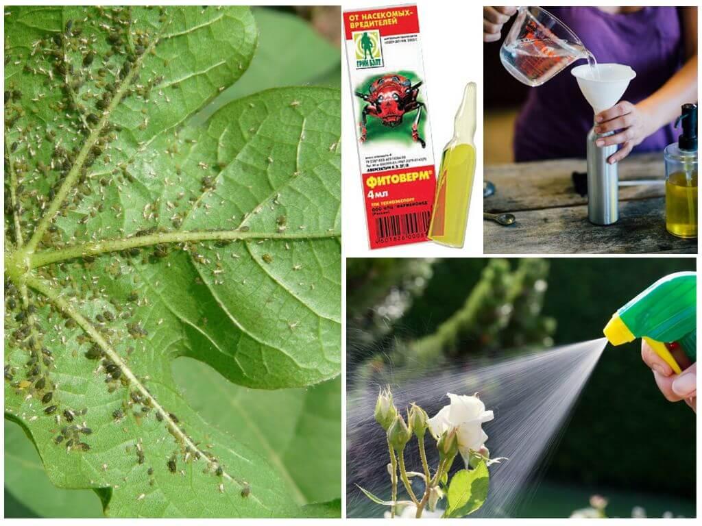 Тля на перце: как избавиться от вредителя, чем обработать растение, какие народные средства, химические и биологические препараты применять?дача эксперт