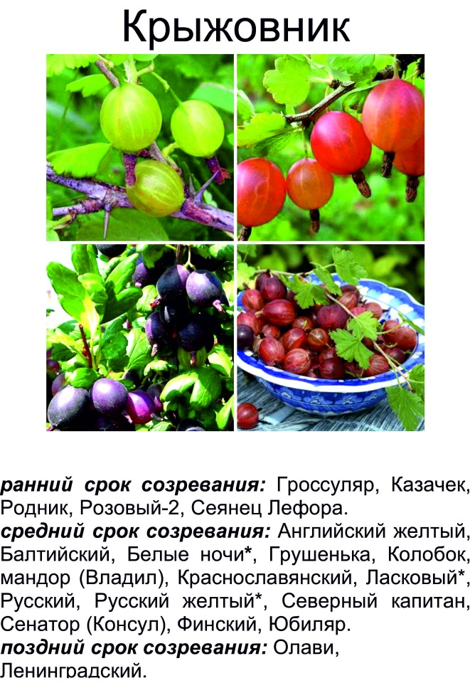 Крыжовник северный капитан: характеристика и описание сорта, отзывы о нем, особенности выращивания по регионам