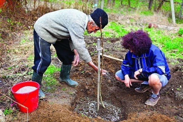 Правила выращивания алычи в саду