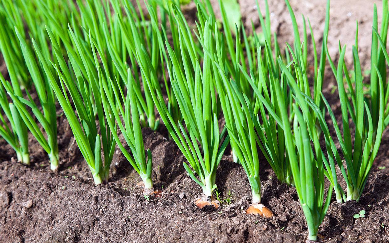 Как вырастить крупный лук в открытом грунте, методы посадки и рекомендации по уходу за растением