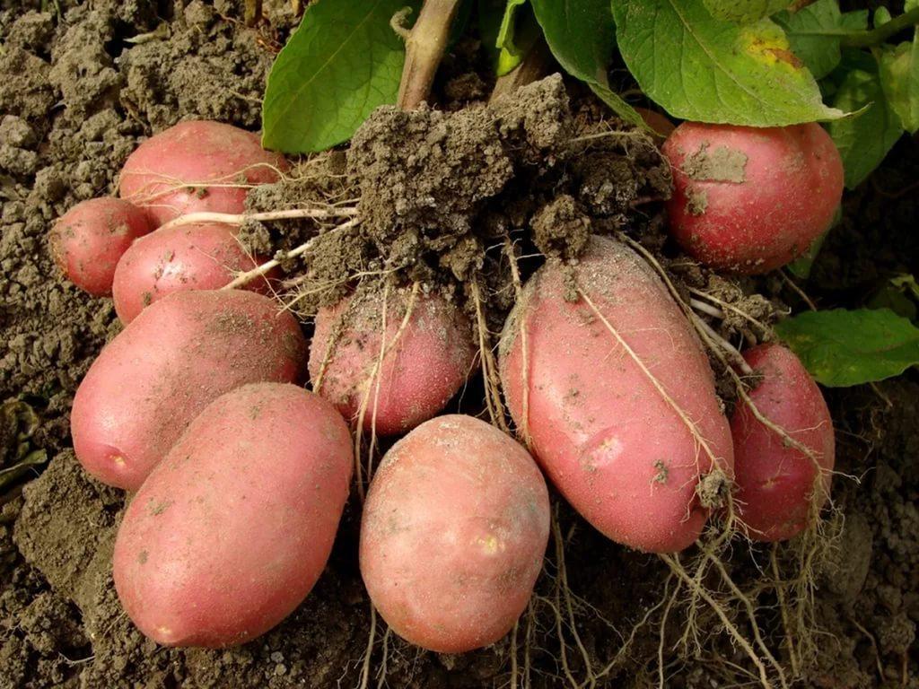 Картошка чародей описание сорта