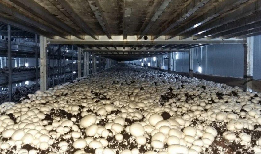 Как правильно вырастить шампиньоны и гриб вешенку