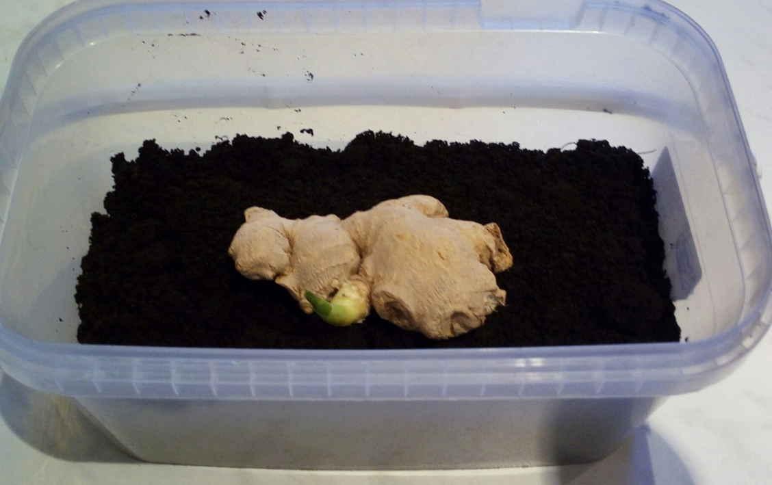 Имбирь: выращивание в домашних условиях из корнеклубня, как сажать имбирь