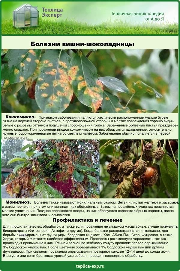 Монилиоз вишни как лечить (препаратами или народными средствами)
