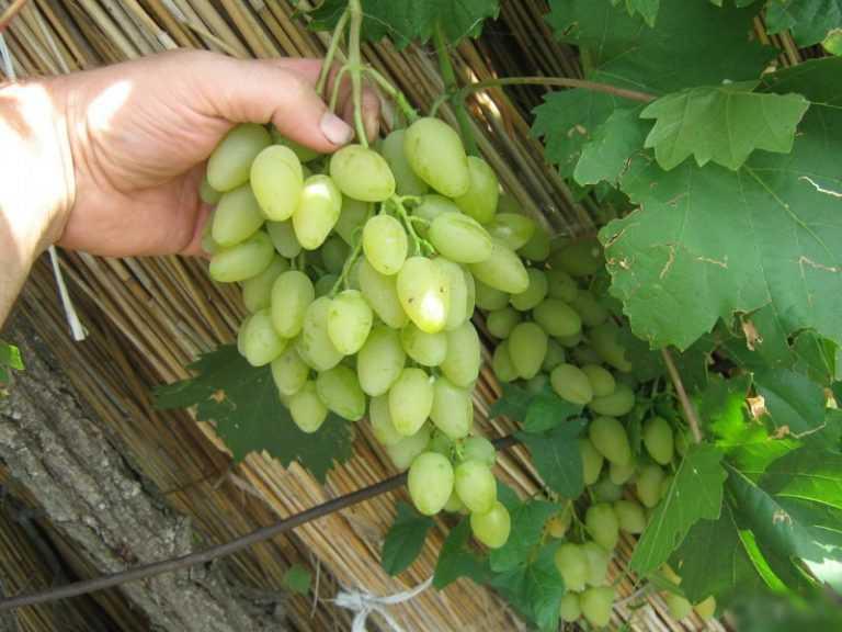Лучшие сорта винограда мускат