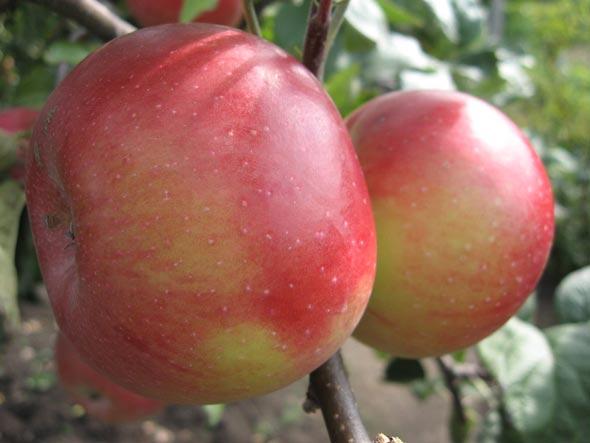 Яблоня джонатан: описание, фото, отзывы, посадка