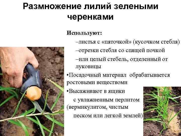 Размножение лилий - три основных способа