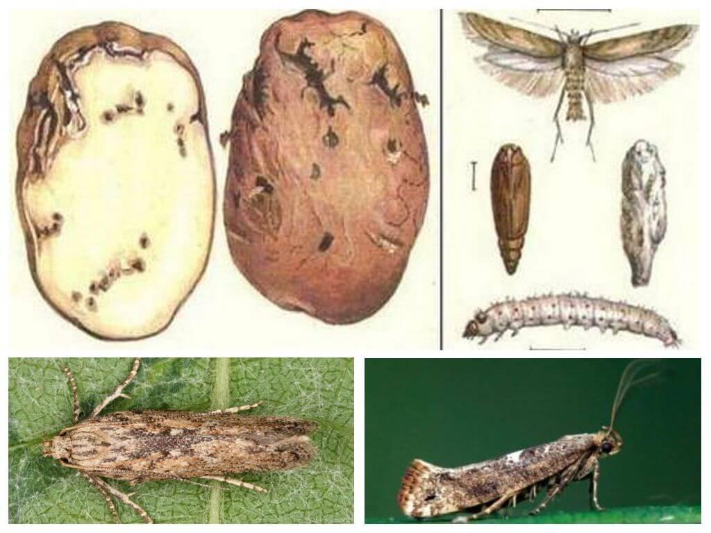 Вредители картофеля с фото и описаниеем, борьба с ними