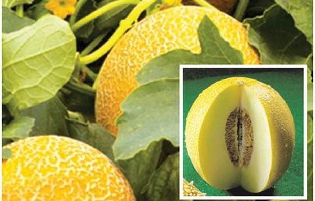 Дыня золушка отзывы описание сорта выращивание - скороспел