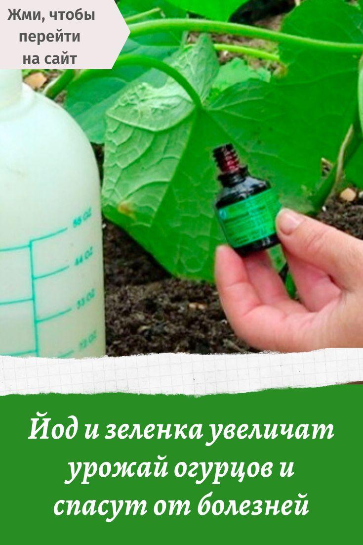 Об обработке огурцов зеленкой и йодом, подкормка хлебом и молоком