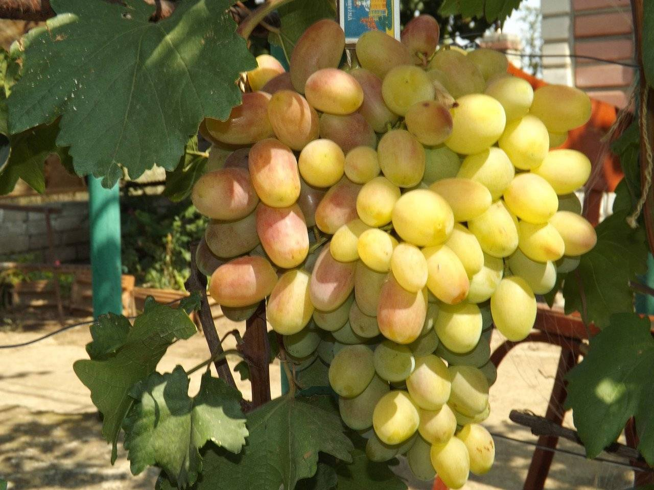 Сорт винограда рубиновый юбилей