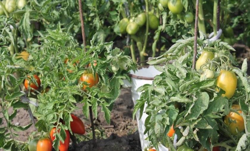 Томат боец (буян) характеристика и описание сорта, отзывы, фото, урожайность