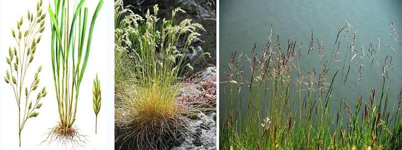 О траве овсяница сизая: как выглядит, полезные свойства, посадка и уход