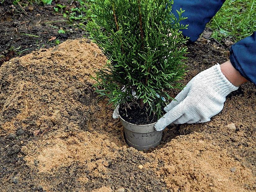 Как и когда правильно посадить облепиху осенью в открытый грунт: схемы, сроки, уход после посадки