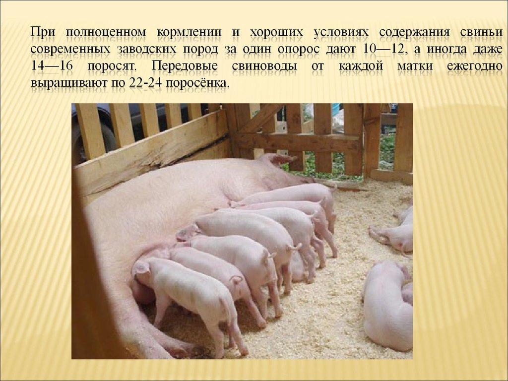 Разведение свиней - особенности, условия, как и где содержать