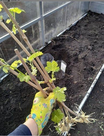 Правильная посадка и выращивание винограда сорта изабелла