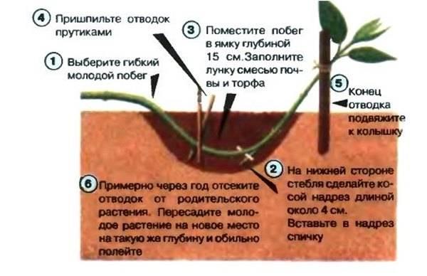 Размножение вишни разными способами: черенками, порослью, прививкой