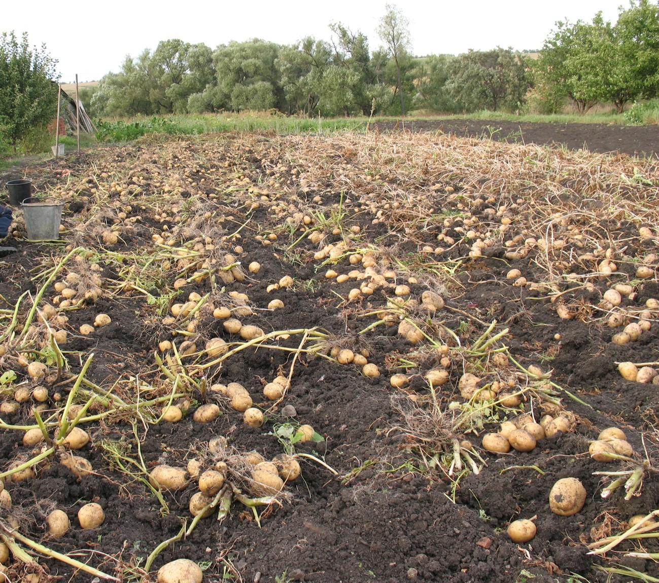 Картошка не взошла – причины и методы устранения проблемы