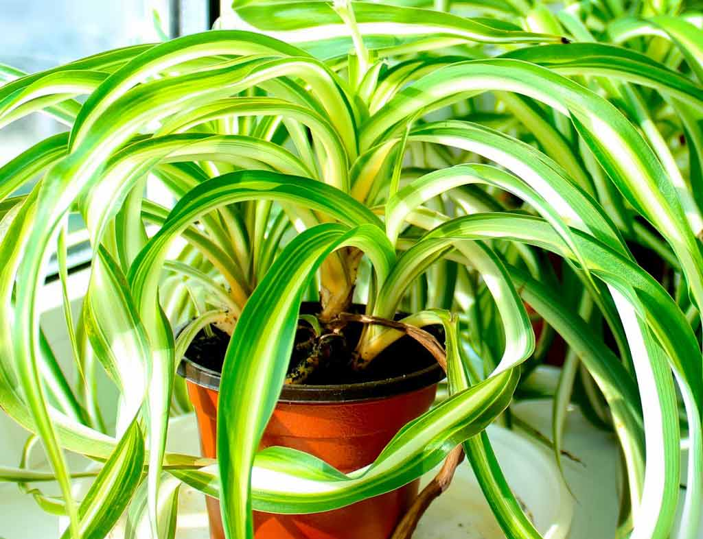Цветок хлорофитум — виды и сорта растения