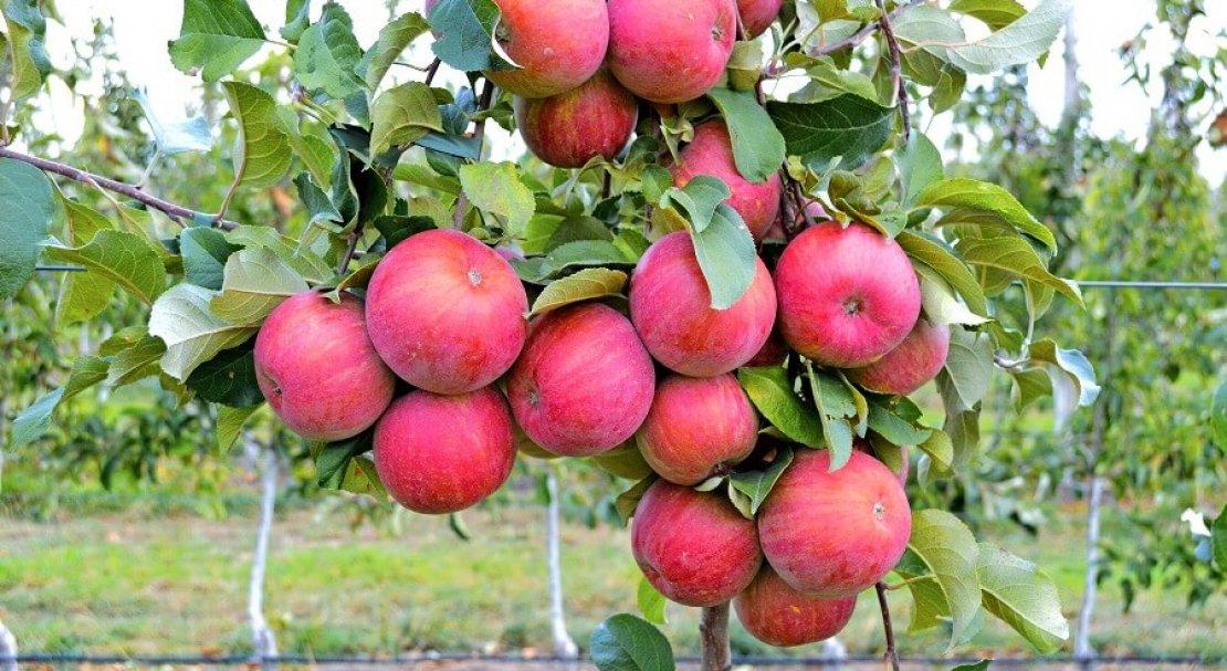 Яблоня фуджи фото и подробная характеристика. сбор и хранение урожая