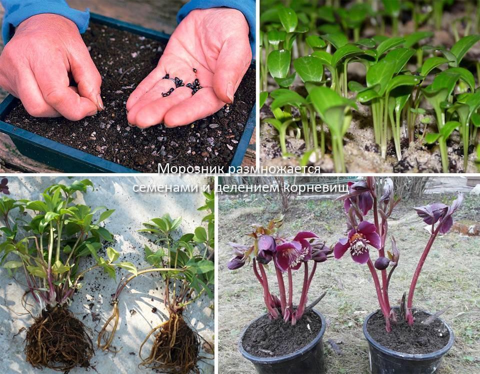 Ревень: посадка и уход, выращивание и размножение в открытом грунте, сорта, фото