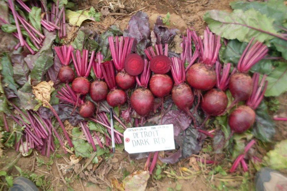 Любимый корнеплод цвета бордо, или особенность свеклы сорта детройт