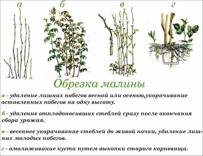 Обработка малины летом от вредителей и болезней в июне, июле и августе, как правильно опрыскать кусты