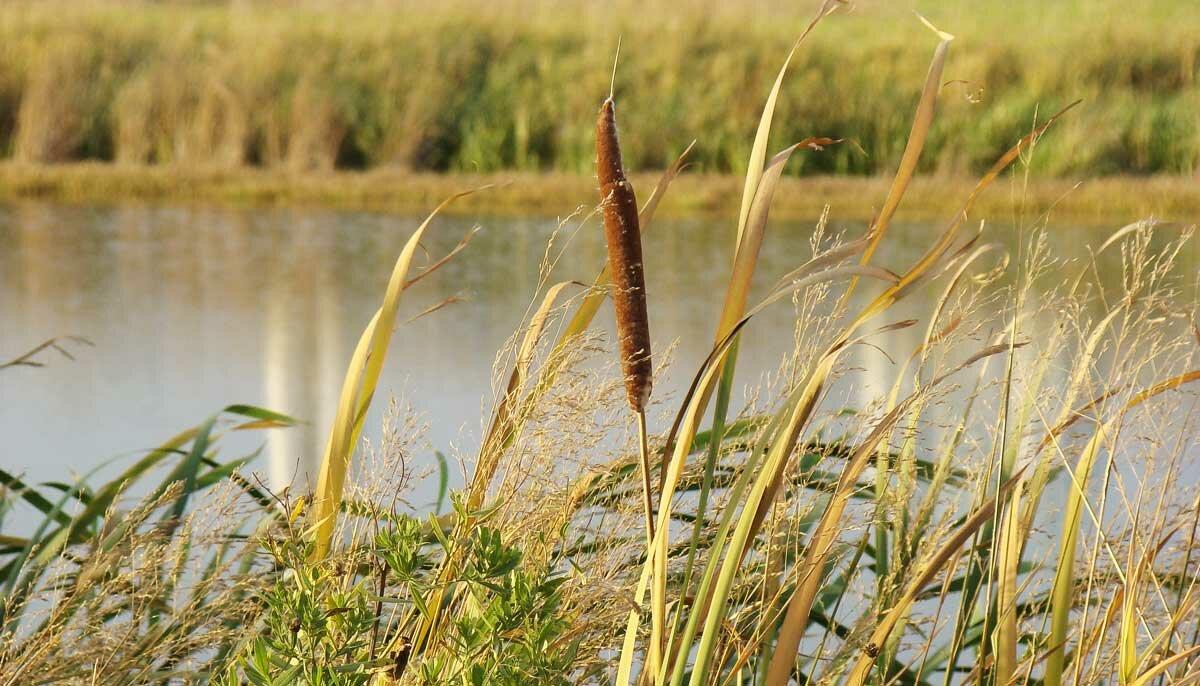 Водная и прибрежная растительность. реферат. биология. 2013-05-16