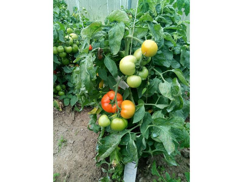 """ᐉ томат """"афродита f1"""": особенности, урожайность и описание сорта - orensad198.ru"""