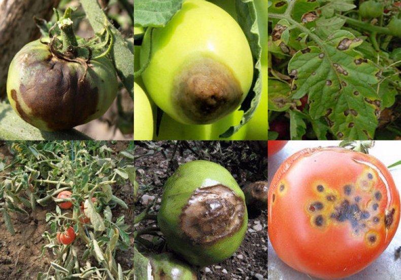 Альтернариоз картофеля: фото, описание и лечение, меры борьбы