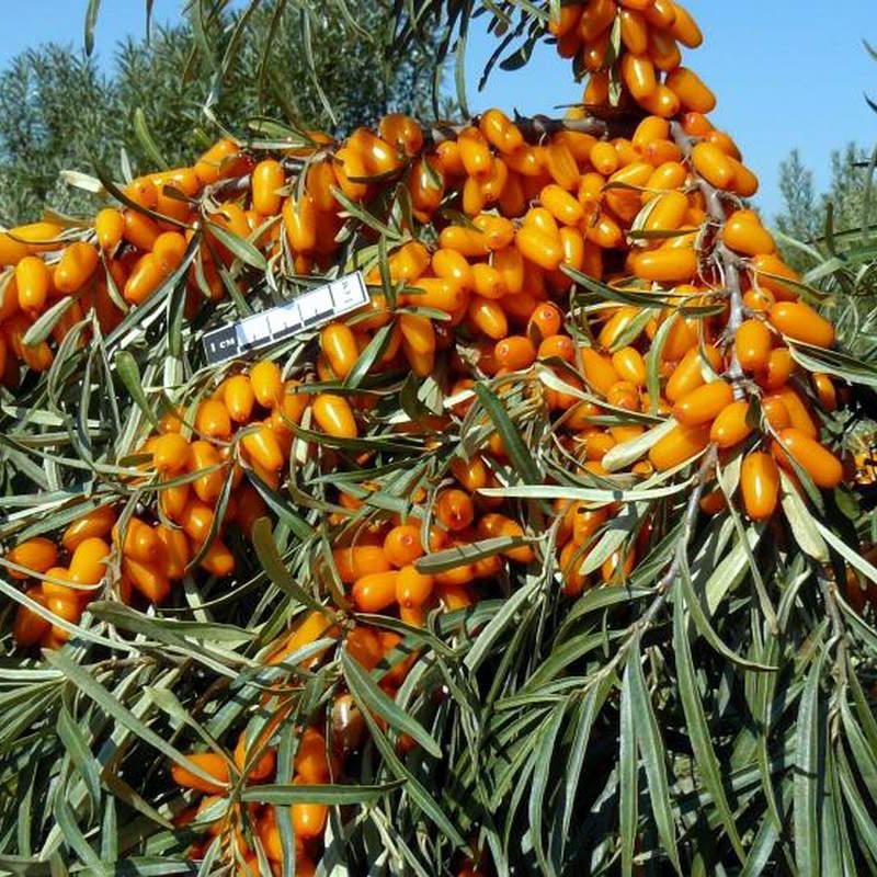 Облепиха пламенная — описание сорта, фото и отзывы садоводов