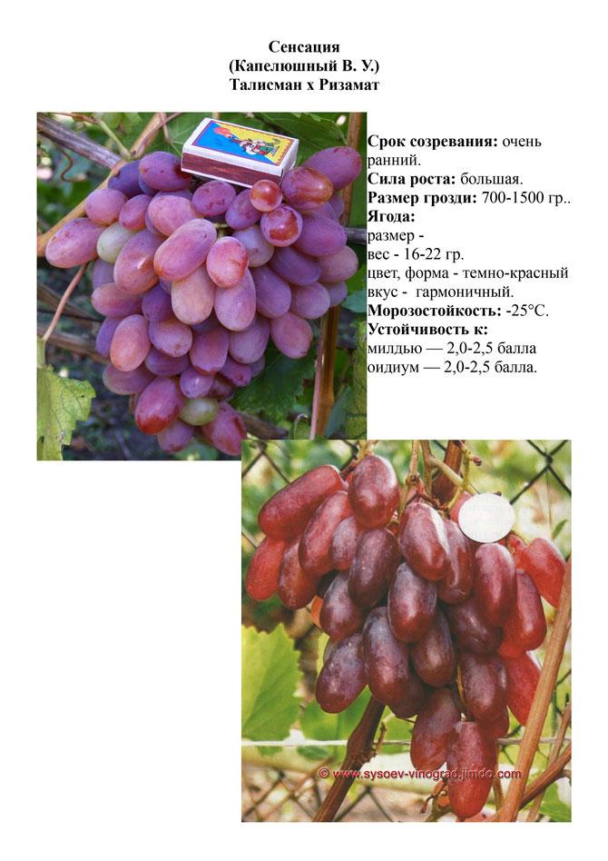 Виноград сенсация: описание сорта, фото и видео, отзывы