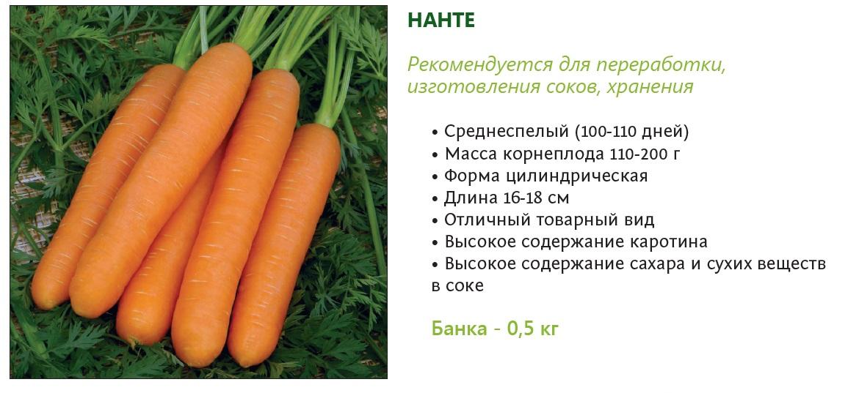 Подробный обзор популярного сорта моркови нантская 4: от посадки до сбора урожая