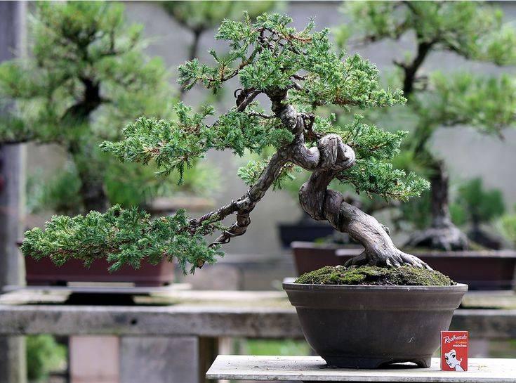 6 лучших растений для бонсай. из чего вырастить бонсай? список названий с фото