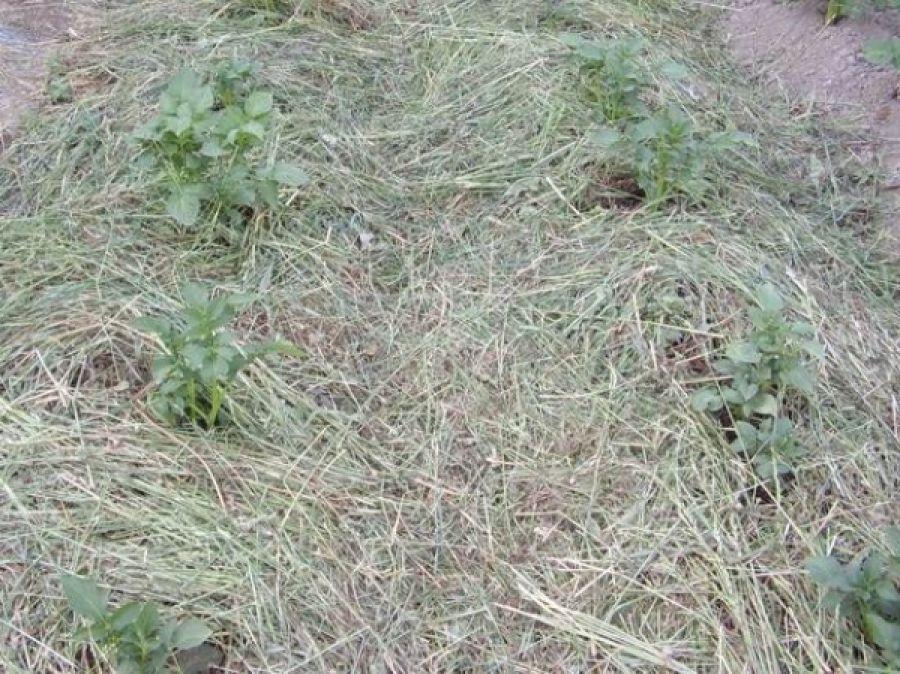Мульчирование почвы скошенной травой: в теплице, польза, вред