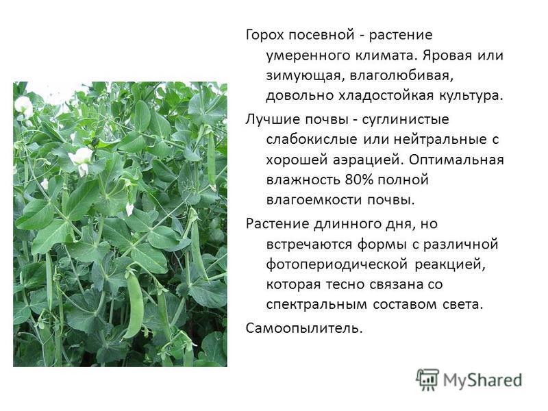 Горох - это овощ или фрукт, к какому семейству относится культура (2020)