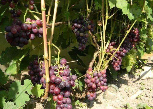 Девичий виноград: посадка и уход, пересадка вдоль забора, как вырастить