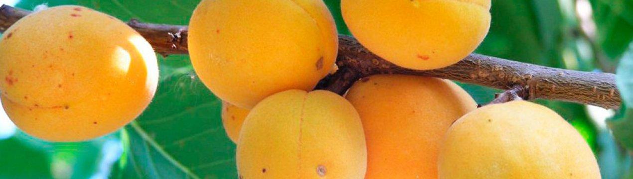 Сорт абрикоса россиянин, описание, характеристика и отзывы