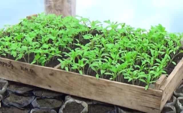 Когда садить помидоры на рассаду в украине в 2021 году по лунному календарю: таблица благоприятных дней посева и пикирования