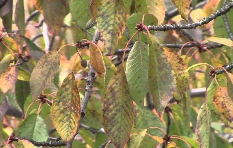 Почему на вишне нет листьев – причины и что делать