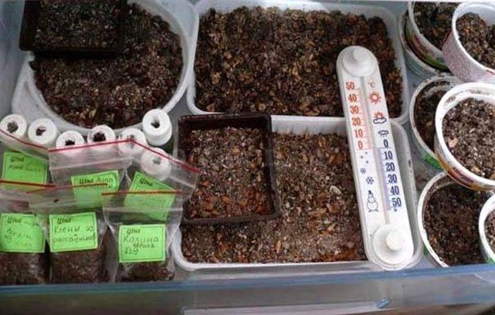 Как вырастить вишню из косточки в домашних условиях