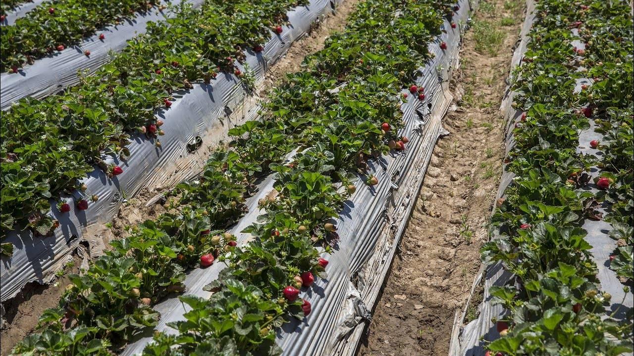 Сорта клубники для сибири: посадка, уход, выращивание