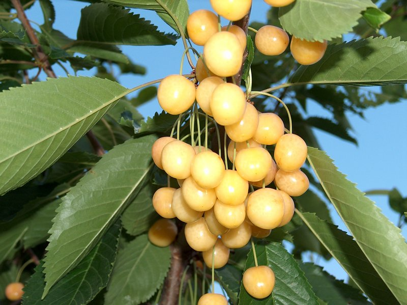 Описание и тонкости выращивания крупноплодной черешни