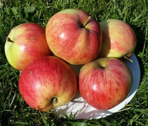 Описание сорта яблони штрифель (штрейфлинг): фото яблок, важные характеристики, урожайность с дерева