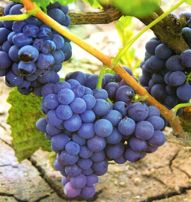 Характеристики и описание винограда сорта Молдова, уход за Черным принцем